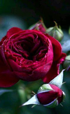 Beautiful Roses, Beautiful Gardens, Rose Foto, Ronsard Rose, Best Red Wine, Neals Yard Remedies, Gothic Garden, Coming Up Roses, David Austin Roses