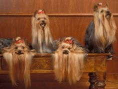 Domestic Dogs, Four Yorkshire Terriers on a Table with Hair Tied up and Very Long Hair Photographic Print by Adriano Bacchella at AllPosters.com
