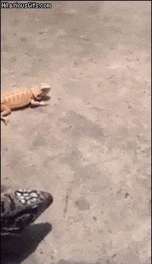 Nope lizard!
