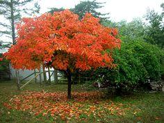 Persimmon Tree Foliage