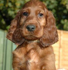 Mrs M Mazan Irish Setter Puppies For Sale