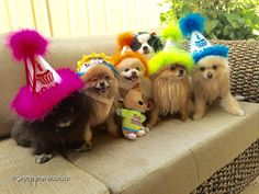 Party Poms! #pomeranian #birthday