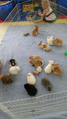 Baby bunnies. Black bunnies, white bunnies , broken tort Holland lop bunnies, lop eared bunnies, mini lop bunnies, bunnies, black and white bunnies, tan and white bunnies, gray bunnies
