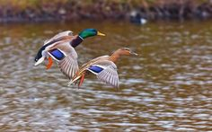 Duck Bird HD Wallpapers : Find best latest Duck Bird HD Wallpapers for your PC desktop background and mobile phones.