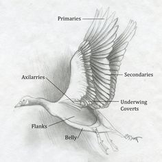 Image Result For Anatomy Of Bird Wing Feathers