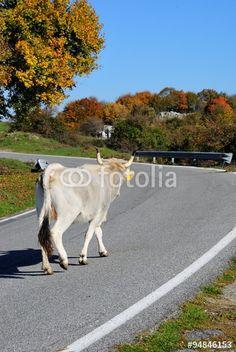 Mucca cammina sulla strada asfaltata