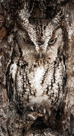 Portrait of an Eastern Screech Owl - Masters of disguise. The Eastern Screech Owl is seen here doing what they do best. You better have a sharp eye to spot these little birds of prey. Okeefenokee Swamp, Georgia, USA. (Photo and caption by Graham McGeorge/National Geographic Traveler Photo Contest)