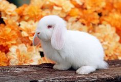 Results for BUNNY Rabbit - Animal Stock Photos - Kimballstock Bunny Bunny, Bunny Rabbits, Mini Lop Rabbit, House Rabbit Society, White Rabbits, Orange Flowers, Prompts, Hogwarts, Jackson