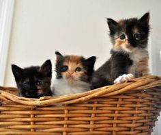 tortoiseshell kitties