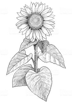 How to Draw a Sunflower Easy Step by Step Drawing Guides,sunflower drawing pattern,sunflower drawing color,sunflower drawing template,sunflower drawing images free Pencil Art Drawings, Easy Drawings, Art Sketches, Sunflower Drawing, Sunflower Art, Sunflower Stencil, Sunflower Illustration, Line Art Vector, Free Adult Coloring Pages