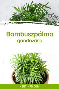 Bambuszpálma gondozása, szaporítása, betegségei, igényei, virágzása, kártevői, ültetése, locsolása, tápoldatozása. Herbs, Herb, Medicinal Plants