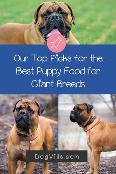 Choosing the best puppy food for giant breeds is an important part of raising a healthy horse of a dog!