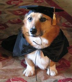 Corgi Pippin was valedogtorian of his obedience class ...