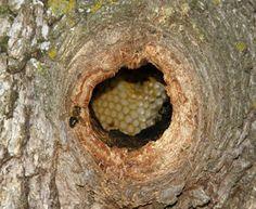 Panal de abejas en un tronco
