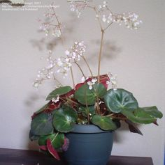 View picture of Beefsteak Begonia 'Erythrophylla' (Begonia) at Dave's Garden. All pictures are contributed by our community.