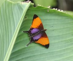 Marcella Daggerwing- photo by Frank Hummel;  Costa Rica