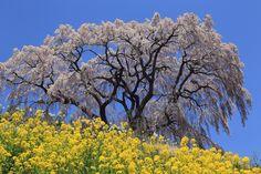 2014-04-25 PLフィルター  桜撮影にはかかせないPLフィルター、すっかり忘れてお仲間にお借りしました〜(*^^*)  青い‼︎