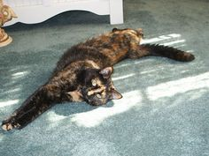 Tortoise Shell Cat named Piper....stretching in it. This kitty looks a lot like Maple! : )