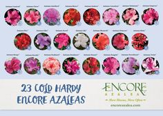 For more than 15 years Encore Azaleas have been tested in gardens, trials and plant nurseries across the Southeast and have proven to be low-maintenance solutions for multi-season landscape color. Take a look at the best cold hardy varieties for your climate zone:
