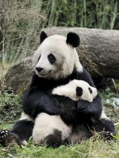 Giant Panda, Mother and Baby Prints by Eric Baccega at AllPosters.com