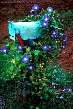 Our mailbox is black but our house is now blue/gray. - Rural mailbox with morning glory vine. The flowers bloom from early summer to the first frost. Their big, fragrant, colorful flowers attract butterflies and hummingbirds. Morning Glory Vine, Morning Glory Flowers, Morning Glories, Morning Morning, Old Mailbox, Rural Mailbox, Mailbox Garden, Country Mailbox, Mailbox Ideas