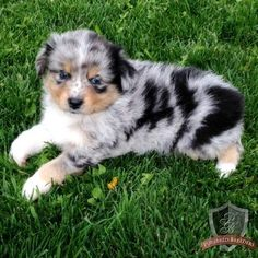 Miniature Australian Shepherd puppy - Ash