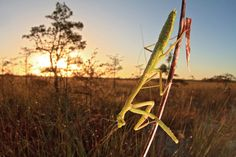 A PRAYING MANTIS AS THE SUN RISES OVER THE EVERGLADES Everglades National Park, Florida (Paul Marcellini/Miami, Florida)