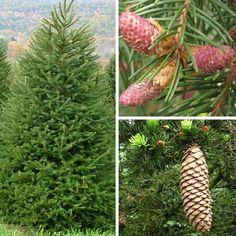 17- Picea abies excelsa - Epicea commun - Sapin Rouge -