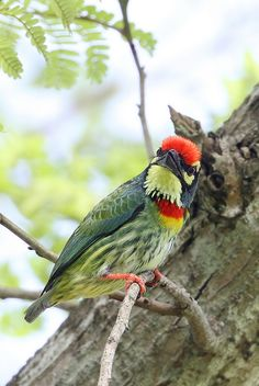 Coppersmith Barbet | Flickr - Photo Sharing!