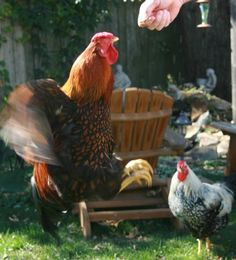 The Best Treats For Backyard Chickens