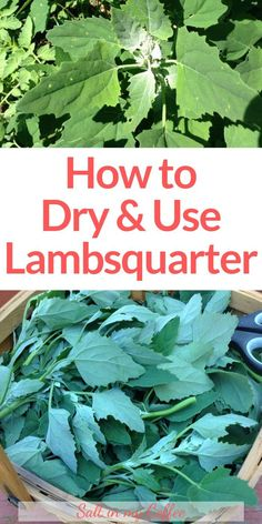 """I love cooking with lambsquarters - there are SO many ways to enjoy this incredibly nutritious """"weed"""". You can even dry it and use it in wonderful seasonings. These tips will get you started making use of lambsquarter, both fresh and dried! Medicinal Weeds, Edible Wild Plants, Herbs For Health, Wild Edibles, Healing Herbs, Growing Herbs, Kraut, Herbalism, Abundance"""