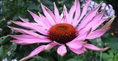 This topic has 90 study abstracts on Echinacea indicating that it may have therapeutic value in the treatment of Common Cold, Upper Respiratory Infections, and Immune Disorders: Low Immune Function
