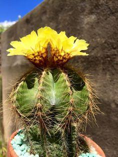 Notocactus warasii (parodia warasii)