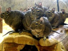 Degus duplicated