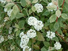 Spiraea Xvanhouttei vanhoutte spiraea Vase shape up and arch over, leaves are toothed Vase Shapes, Dream Garden, Shrubs, Leaves, Plants, Arch, Pink, Longbow, Arches