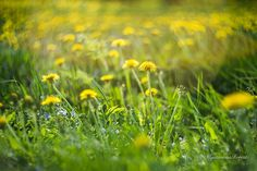 Yellow dandelion photography Dandelion by MysteriousForests