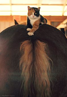 My two favorite animals. The horse and a calico cat :-) (the horses patutie) Pretty Horses, Horse Love, Beautiful Horses, Animals Beautiful, Animals And Pets, Funny Animals, Cute Animals, Gatos Cats, Photo Chat