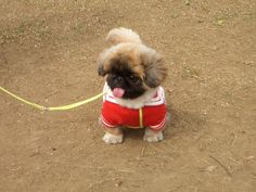 Very interesting post: Pekingese Puppies - 30 Pictures. Also dompiсt.сom lot of interesting things on Funny Dog. Yorkies, Pekingese Puppies, Teacup Puppies, Cute Puppies, Cute Dogs, Dogs And Puppies, Animals And Pets, Funny Animals, Cute Animals