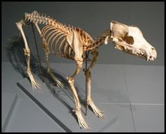 This is a wolf skeleton from the Finnish museum of natural history (It& located in the city of Helsinki). There was a lot skeletons of many different species. Even an elaphant and a whale& Dog Skeleton, Skeleton Bones, Skull And Bones, Animal Skeletons, Animal Skulls, Dog Anatomy, Animal Anatomy, Historia Natural, Animal Bones