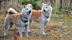 26. Shiba Inu Shiba Inu, anjing yang satu ini berasal dari Negara Jepang. Shiba Inu ini sangat setia pada sang majikan, penuh percaya diri, pemberani tajam dan yang pasti sangat menawan.  Shiba Inu ini memiliki tinggi antara 35 hingga 43 cm untuk Shiba Inu jantan, sedangkan Shiba Inu betina tingginya antara 33 hingga 41 cm.Berat tubuh Shiba Inu ini untuk yang jantan 8 hingga 11 kg sedangkan untuk yang betina 6,8 hingga 9 kg.  Lama hidup Shiba Inu ini bisa mencapai 15 tahun, tak beda jauh…
