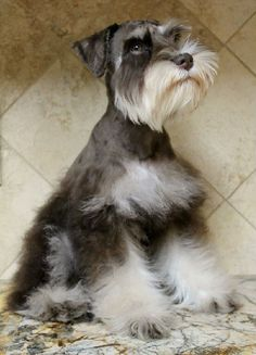 Chocolate and tan miniature schnauzer puppy