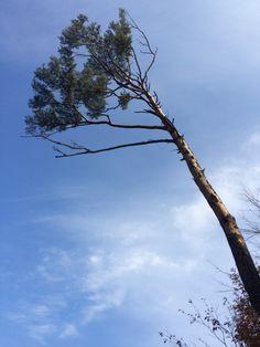 속초 낙산사 해풍을 맞고자란 소나무