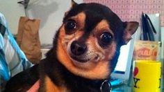 Morre-Chihuahua-do-meme-Qual-a-necessidade-disso.jpg (620×350)