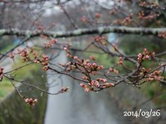 京都 哲学の道 桜 2014/03/26