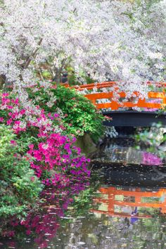 Descanso's Japanese Garden with lush foliage, fuchsia azalea flowers and sweeping cherry blossoms.
