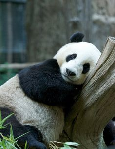 I love you little panda... Could this be Mr Wu maybe, at San Diego Zoo? (The sweet muffin of all panda muffins. :))
