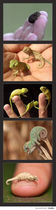 Baby chameleons! The last one isn't a baby but the smallest known species chameleon.
