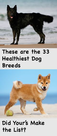Using doggy data from Animal Planet, we found 33 dog breeds that either have a clean health record, or are associated with only one, two or three health problems at most. We looked at diseases characterized by Animal Planet as major concerns, minor concer Love My Dog, Australian Shepherds, Pet Dogs, Dogs And Puppies, Healthiest Dog Breeds, Pitbull, Game Mode, Animals And Pets, Cute Animals