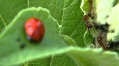 Ch 4 Ants milking plant lice and defending them against a ladybug
