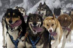 Crazed dog sledding tongues. via reg saddler